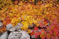 Sommaco in autunno sui muretti a secco del Carso